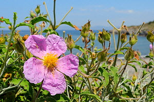 Pink / Hairy rock rose (Cistus incanus) flowering on the coast, with the sea in the background, Lesbos / Lesvos, Greece, May. - Nick Upton