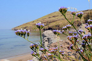 Winged / Wavyleaved sea lavender (Limonium sinuatum) flowering on rocky slope above a beach, with the Aegean Sea in the background, Kalo Limani, Lesbos / Lesvos Greece, June. - Nick Upton