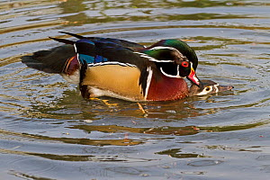 North American Wood Ducks (Aix sponsa) mating on water. Captive. Endemic to eastern USA and southern Canada. UK, March. - Rod Williams