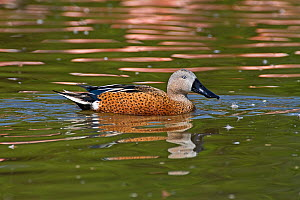Male Red Shoveler (Anas platalea) on water. Captive. Endemic to southern South America. UK, April.  -  Rod Williams