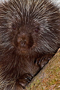 North American Porcupine (Erethizon dorsatum). Captive. Endemic to North America. Captive. UK, May. - Rod Williams