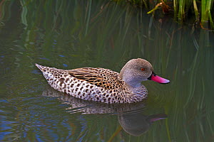 Cape Teal (Anas capensis) on water. Captive. Endemic to Sub-Saharan Africa. UK, August.  -  Rod Williams