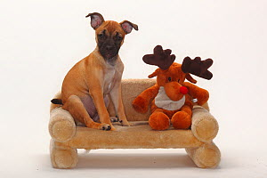 Mixed Breed puppy, 12 weeks / Pug crossbred, sitting on small sofa with reindeer toy. - Petra Wegner
