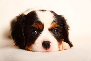 Cavalier King Charles Spaniel puppy, tricolour, 5 weeks.  -  Petra Wegner