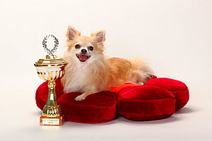 Chihuahua, longhaired with trophy, lying on red cushion.  -  Petra Wegner