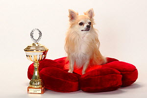 Chihuahua, longhaired, with trophy sitting on red cushion.  -  Petra Wegner