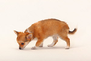 Chihuahua, longhaired puppy, 12 weeks, sniffing ground.  -  Petra Wegner
