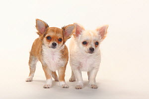 Chihuahua, longhaired puppies, 12 weeks.  -  Petra Wegner