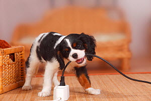 Cavalier King Charles Spaniel puppy, tricolour, 9 weeks, biting electrical wire. - Petra Wegner