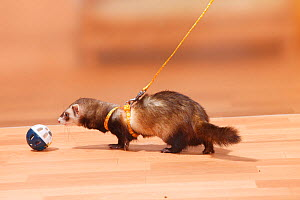Ferret (Mustela putorius forma domestica) with toy on a harness and leash.  -  Petra Wegner