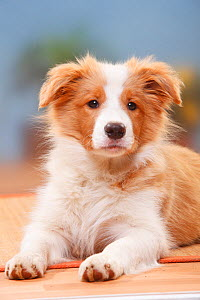 Border Collie puppy, 14 weeks, Australian red-white.  -  Petra Wegner
