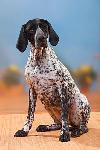 German Shorthaired Pointer bitch, sitting. - Petra Wegner