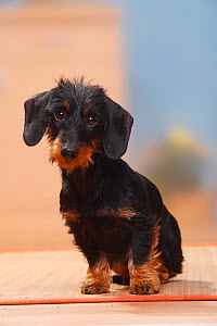 Miniature Wirehaired Dachshund sitting.  -  Petra Wegner