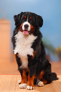 Bernese Mountain Dog, male sitting. - Petra Wegner