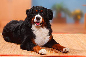 Bernese Mountain Dog, male lying. - Petra Wegner