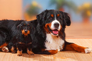 Bernese Mountain Dog and Miniature Wirehaired Dachshund. - Petra Wegner