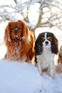 Cavalier King Charles Spaniels, ruby and tricolour, sitting in snow.  -  Petra Wegner