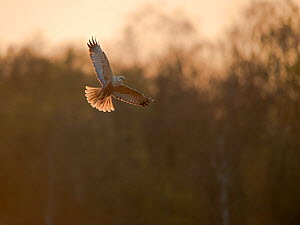 Marsh harrier (Circus aeruginosus) adult male in flight, backlit, Norfolk, UK, April - Andrew Parkinson / 2020VISION