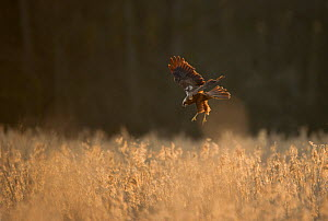 Marsh harrier (Circus aeruginosus) adult female preparing to land in reedbeds, backlit, Norfolk, UK, April - Andrew Parkinson / 2020VISION