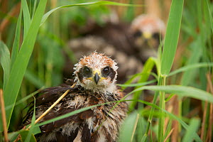 Pair of sibling Marsh harrier (Circus aeruginosus) chicks in nest after heavy rain. Sculthorpe Nature Reserve, Norfolk, UK, July 2010. Did you know? Although marsh harriers hunt rodents, their main pr... - Andrew Parkinson / 2020VISION