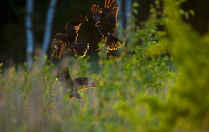 Marsh harrier (Circus aeruginosus) three sub-adult siblings squabbling in flight in the last rays of evening sunlight, Norfolk, UK, August  -  Andrew Parkinson / 2020VISION