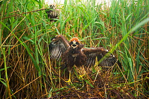 Marsh harrier (Circus aeruginosus) chick at its nest site, defiant as it is approached by a licenced bird ringer, Sculthorpe Nature Reserve, Norfolk, UK, July 2010 - Andrew Parkinson / 2020VISION