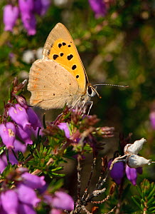 Small copper butterfly (Lycaena phlaeas) on Bell heather (Erica cinerea), Minsmere RSPB reserve, Suffolk, UK, July  -  Chris Gomersall / 2020VISION