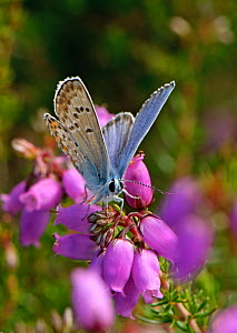Silver-studded blue butterfly (Plebeius argus) male at rest on Bell heather (Erica cinerea) Minsmere RSPB reserve, Suffolk, UK, July  -  Chris Gomersall / 2020VISION