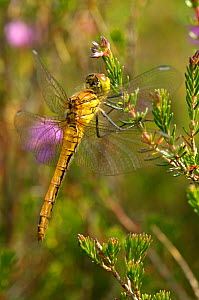 Common darter dragonfly (Sympetrum striolatum) adult female at rest on Bell heather (Erica cinerea), Minsmere RSPB reserve, Suffolk, UK, July  -  Chris Gomersall / 2020VISION