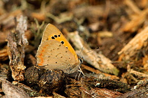 Small copper butterfly (Lycaena phlaeas) resting on ground, Minsmere RSPB reserve, Suffolk, UK, July - Chris Gomersall / 2020VISION