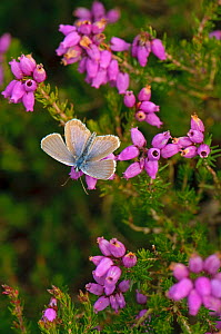 Silver-studded blue butterfly (Plebeius argus) well-worn male at rest on Bell heather (Erica cinerea) Minsmere RSPB reserve, Suffolk, UK, July  -  Chris Gomersall / 2020VISION