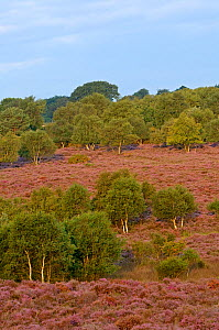 Birch trees and Heather / Ling (Calluna vulgaris) in flower on Westleton Heath NNR, Suffolk, UK, August 2011.  -  Chris Gomersall / 2020VISION