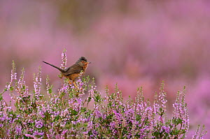 Dartford warbler (Sylvia undata) adult male perched on flowering Heather / Ling (Calluna vulgaris) on heathland, Suffolk, UK, August. 2020VISION Book Plate.  -  Chris Gomersall / 2020VISION