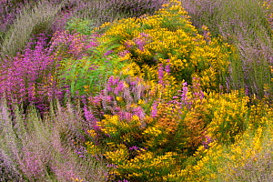 Bell heather (Erica cinerea), Ling (Calluna vulgaris) and Dwarf gorse (Ulex minor) in flower on heathland, Suffolk, UK, August. Abstract interpretation, featuring multiple exposures. 2020VISION Exhibi...  -  Chris Gomersall / 2020VISION