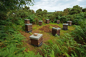Honey bee (Apis mellifera) beehives sited on edge of heathland for premium heather honey production, Suffolk, UK, August 2011.  2020VISION Exhibition. 2020VISION Book Plate.  -  Chris Gomersall / 2020VISION