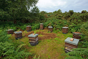 Honey bee (Apis mellifera) beehives sited on edge of heathland for premium heather honey production, Suffolk, UK, August 2011.  -  Chris Gomersall / 2020VISION