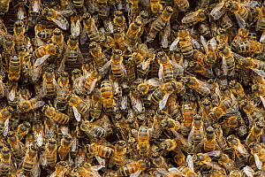 Worker European honey bees (Apis mellifera) in beehive, Suffolk, UK, August  -  Chris Gomersall / 2020VISION