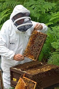 Bee keeper, Richard Emery, attending Honey bee (Apis mellifera) beehive at a heathland site in Suffolk, UK, August 2011. Model released - Chris Gomersall / 2020VISION