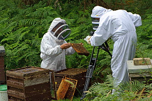 Bee keeper, Richard Emery, attending Honey bee (Apis mellifera) beehive at a heathland site, being filmed by Paul and Ryan Edwards, Suffolk, UK, August 2011.  -  Chris Gomersall / 2020VISION