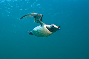 Common guillemot (Uria aalge) swimming underwater, Farne Islands, Northumberland, UK, July. Did you know? Guillemots are shaped like a penguin for hydrodynamics, but with wings like cormorants for aer... - Alex Mustard / 2020VISION