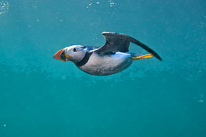 Puffin (Fratercula arctica) swimming underwater,  Farne Islands, Northumberland, UK, July. 2020VISION Book Plate.  -  Alex Mustard / 2020VISION