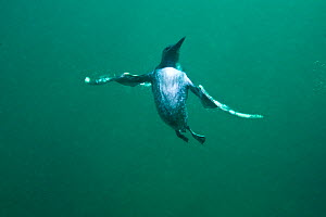 Common guillemot (Uria aalge) swimming underwater, Farne Islands, Northumberland, UK, July - Alex Mustard / 2020VISION