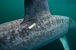 Tagged Basking shark (Cetorhinus maximus) feeding on plankton in the surface waters around the island of Coll, Inner Hebrides, Scotland, UK, June  -  Alex Mustard / 2020VISION