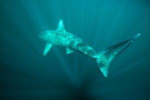 Basking shark (Cetorhinus maximus) disappears back into the blue in the surface waters around the island of Coll, Inner Hebrides, Scotland, UK, June. Did you know? Basking sharks are the second larges... - Alex Mustard / 2020VISION