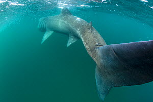 RF- Rear view of Basking shark (Cetorhinus maximus) feeding on plankton, visible as white dots on water surface near island of Coll, Inner Hebrides, Scotland, UK. June. (This image may be licensed eit...  -  Alex Mustard / 2020VISION