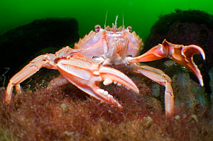 Swimming / Harbour crab (Liocarcinus depurator) displaying claws to defend its patch of seabed in a sea loch, Loch Fyne, Argyll and Bute, Scotland, UK, July. Did you know? Of the ten limbs of the swim... - Alex Mustard / 2020VISION
