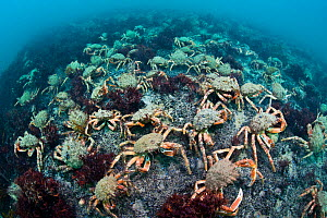 Aggregation of Spider crabs (Maja squinado) in shallow water off Burton Bradstock, Dorset, UK, August. 2020VISION Book Plate.  -  Alex Mustard / 2020VISION