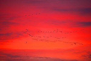 Pink-footed geese (Anser brachyrynchus) flocks in flight leaving overnight roost at dawn, the Wash, Snettisham, Norfolk, UK, January  -  David Tipling / 2020VISION