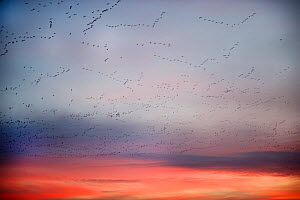 Pink-footed geese (Anser brachyrynchus) flocks in flight leaving overnight roost at dawn, the Wash, Snettisham, Norfolk, UK, January. 2020VISION Exhibition. 2020VISION Book Plate.  -  David Tipling / 2020VISION