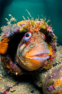 Tompot blenny (Parablennius gattorugine) in bright summer mating colours, peering out from his home in a discarded tube, where he was guarding his eggs (not visible in this photo), Swanage Pier, Dorse...  -  Alex Mustard / 2020VISION
